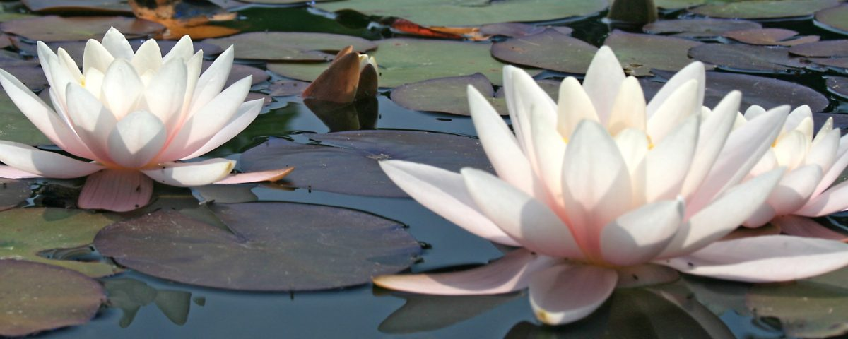 two pale pink lotus flowers floating on water, signifying conscious beauty